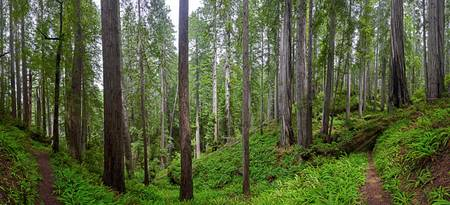 Panorama of trail through Redwoods and ferns