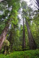 Redwood trees vertical