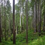 """Panorama of ferns in Redwood forest"" by JohnChaoPhoto"