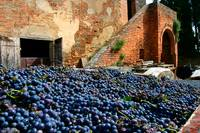 Tuscany Grape Harvest