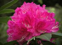 Rhododendron Cluster