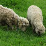 """Two Sheep Grazing"" by rhamm"