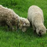 """Two Sheep Grazing"" by rhamm"