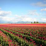 """Skagit Valley Tulip Fields"" by Groecar"