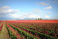Skagit Valley Tulip Fields