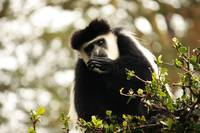 Colobus Monkey Eating