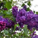 """""""Purple Flowers"""" by Azodnem"""
