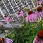 """Echinacea"" by Azodnem"