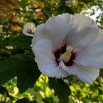 """Hibiscus"" by Azodnem"