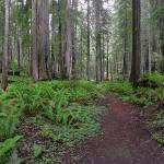 """Brown Creek Trail, Redwood Natl Park (in drybrush)"" by JohnChaoPhoto"