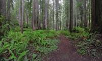 Brown Creek Trail, Redwood Natl Park (in drybrush)
