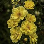 """Yellow Roses"" by LouiseReeves"