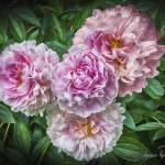 """Peonies"" by LouiseReeves"