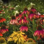 """cone flowers"" by LouiseReeves"