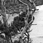 """Old Tree in Depoe Bay"" by memoriesoflove"