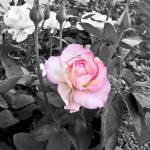 """Hybred Rose in black and white with a splash of co"" by memoriesoflove"