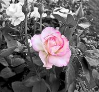 Hybred Rose in black and white with a splash of co