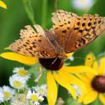 """Great Spangled Fritillary Butterfly"" by KsWorldArt"