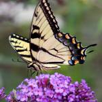 """Eastern Tiger Swallowtail on Butterfly Bush Square"" by KsWorldArt"
