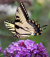Eastern Tiger Swallowtail on Butterfly Bush Square