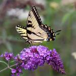 """Eastern Tiger Swallowtail on Butterfly Bush 2016"" by KsWorldArt"