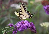 Eastern Tiger Swallowtail on Butterfly Bush 2016