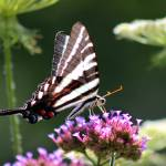 """Zebra Swallowtail Butterfly in July  2016"" by KsWorldArt"