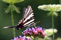 Zebra Swallowtail Butterfly in July  2016