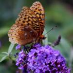 """Great Spangled Fritillary Butterfly 2016"" by KsWorldArt"