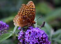 Great Spangled Fritillary Butterfly 2016