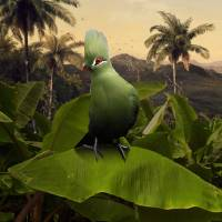 """Green Turaco on Banana Tree"" by spadecaller"