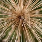 """""""Old Allium"""" by KsWorldArt"""