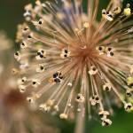 """Allium Seeds"" by KsWorldArt"