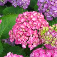 """Cluster of Hydrangeas"" by MiniArora"