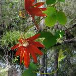 """Red Passion Flower at Brooker Creek"" by spadecaller"