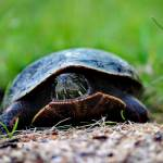 """Turtle 2016_IMG_7742"" by KsWorldArt"