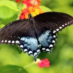 """Spicebush Swallowtail Butterfly on Lantana"" by KsWorldArt"