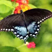 Spicebush Swallowtail Butterfly on Lantana Art Prints & Posters by Karen Adams