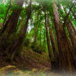 """Muir Woods no. 1"" by LauraD"