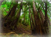 Muir Woods no. 1