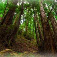 Muir Woods no. 1 Art Prints & Posters by Laura D'Addona
