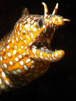 Dragon Moray Portrait