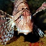 """Lionfish Frontal"" by JoaoPonces"
