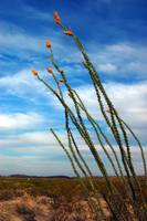 Blue Sky Ocotillo #2