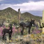 """Wild Burros in the Sonoran Desert"" by spadecaller"