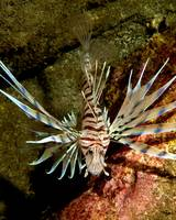 Young Lionfish Floating