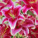 """Striking Stargazer Lilies"" by Groecar"