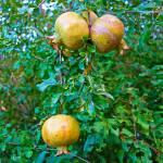 """Desert Study 18-Pomegranates"" by robertmeyerslussier"