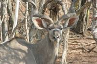 Kudu In The Wilderness Close Up