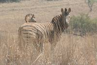 Zebra in the dust